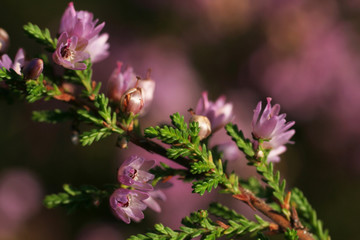 Beautiful, full flowering, violet heather flowers on green twigs