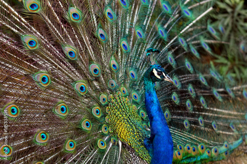 Foto op Aluminium Pauw Peacock Displaying Feathers on Lokrum, Croatia