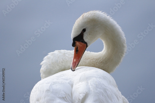 Sinuous Swan