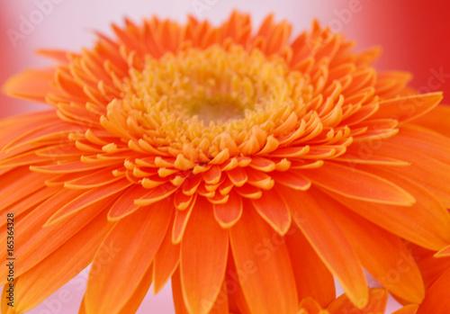 orange gerbera daisy daisy flower