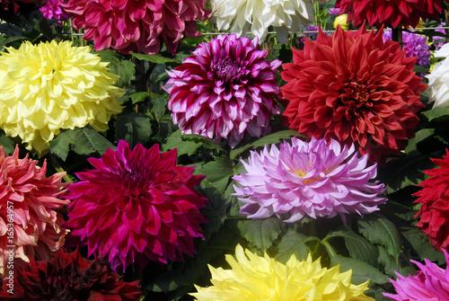 dahlia flower cluster © Nikonite
