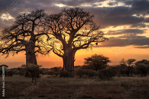 Aluminium Baobab Baobab Trees at Sunset, Tanzania