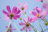 Beautiful pink or purple cosmos (Cosmos Bipinnatus) flowers garden in soft focus at the park with blurred cosmos flower on blue sky, selective focus
