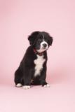 Border Collie puppy on pink