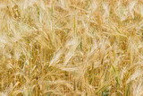 Background of the barley field - 165377319