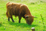 Brown hairy Highland cow in Scotland - 165386798