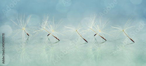 Aluminium Paardenbloemen Panoramic image of a dandelion seed close-up
