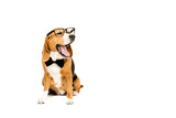 funny beagle dog yawning and wearing eyeglasses and bow tie, isolated on white