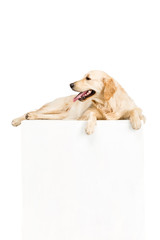 golden retriever dog with white empty blank, isolated on white
