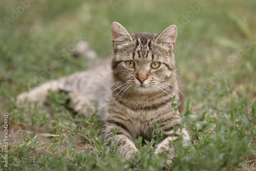 Poster Photo of a gray cat