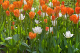 Beautiful, bright, colorful tulips. Neternlands Amsterdam