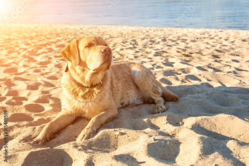 Old yellow dog Labrador Retriever is lying on the beach with full of sand close to river, hot and sunny summer Poster