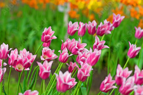 Flower tulips background Poster