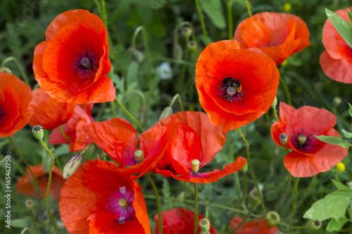 Opium poppy papaver somniferum flower