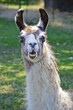 Llama closeup with funny expression on face/Closeup of Llama with mouth open and appears to be talking