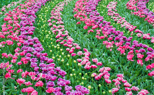 Flower tulips background. Beautiful view of color tulips.