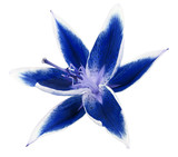 lily blue flower isolated on a white background  with clipping path. Closeup. Nature.