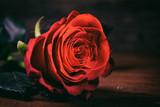 Red rose close up on dark background