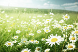 field of daisy flowers
