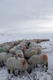 Winter Sheep Farming in the Yorkshire Dales - 165494578