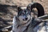 Wilk spoczywający w słońcu