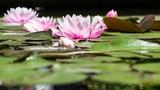 Lotus/Nénuphar. - 165514581