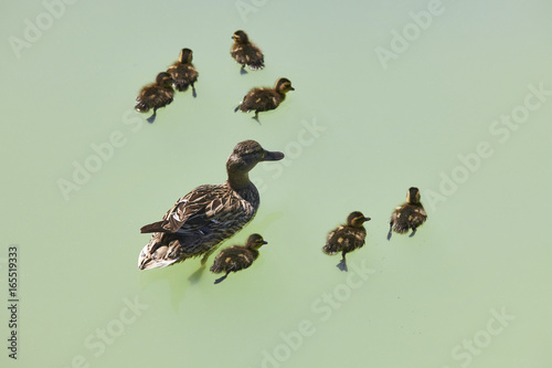 Fotobehang Zwaan Female duck with family on a green pond. Nature