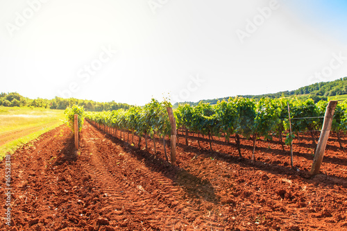 View of vineyards, Istria