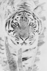 Tiger. Sketch with pencil