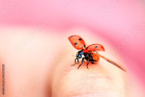 Beautiful ladybug (Coccinella magnifica) taking flight against a pink background