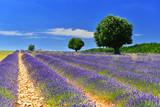 Lavender field, Provence, France - 165560111