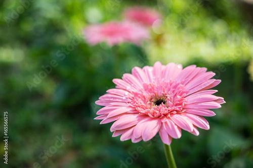 Pink gerbera flower in the garden , soft focus