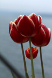Tulpe Blüte gelb-rot