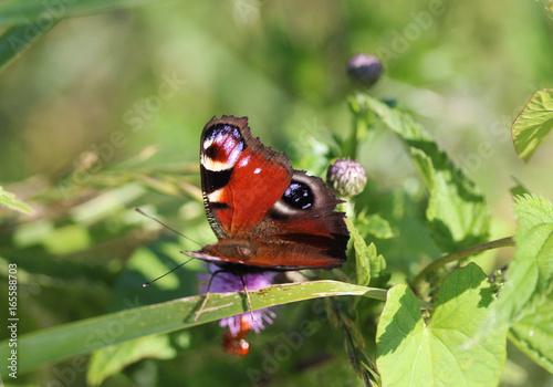 Foto op Aluminium Pauw European peacock butterfly