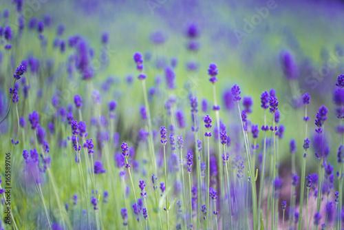 Beautiful Lavender Garden In Hokkaido, Japan