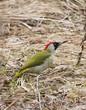European green woodpecker (Picus viridis) on the dry grass