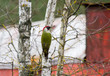 European green woodpecker (Picus viridis) on the tree
