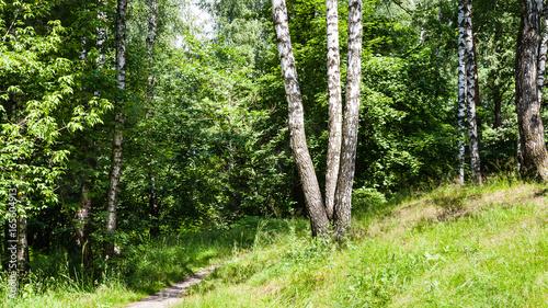 Plexiglas Berkenbos birch trees near path in forest in summer