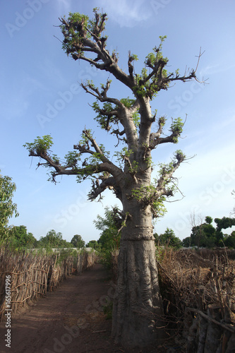 young baobab tree in Africa