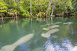 Quadro Manatee swimming up the beautiful Silver River in Florida to stay warm in the winter
