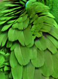 Macro photograph of the green-colored feathers of a macaw (parrot)