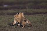 Lion - 165634383
