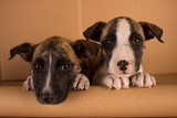 two cute brown and white puppies with cardboard