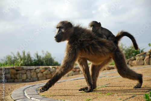 Couple of Baboons at Cape Peninsula, South Africa Poster