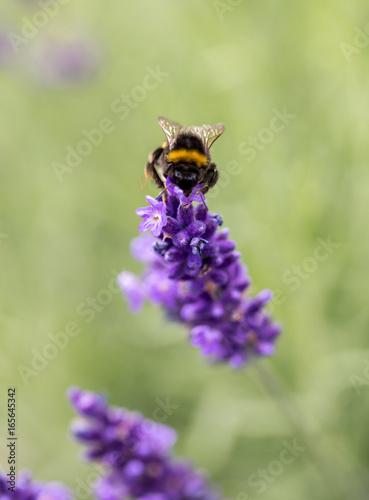 Fotobehang Lavendel the flourishing lavender in Provence, near Sault, France