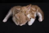 cute ginger kittens sleeping on black background