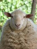 mouton - 165651713