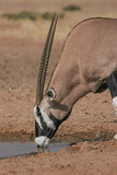 Gemsbok horns are a reputable weapon. If you throw a marble at one they are able to hit it away with their horn every time. Here one is savouring a puddle of scarce water in the desert