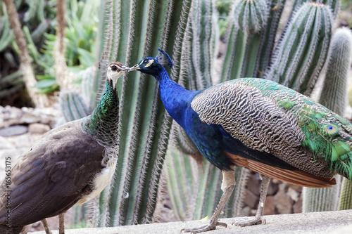 Foto op Aluminium Pauw Peacocks seen on Gran Canaria