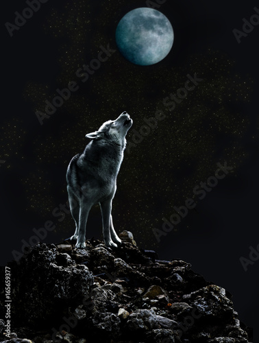 Fototapeta A lone wolf sings his sad song to the moon